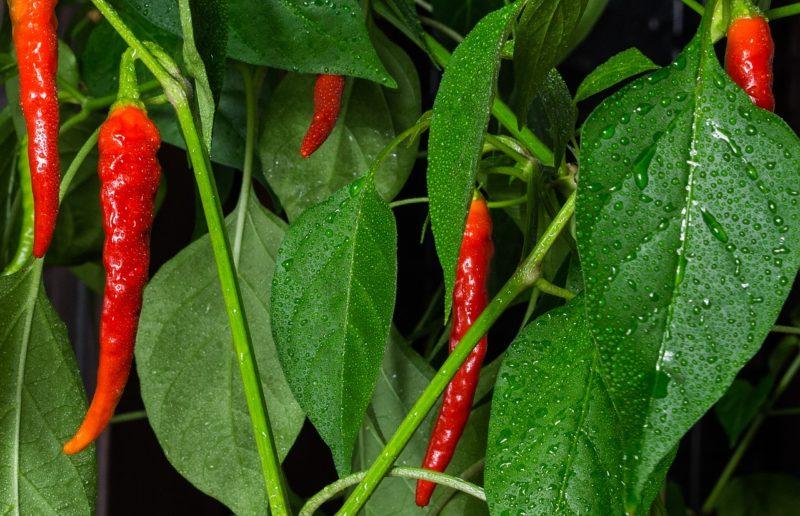 Bild Cayenne Chili-Pflanze