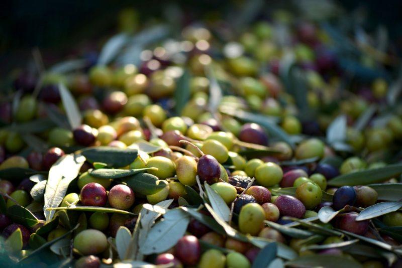 Bild geerntete Oliven