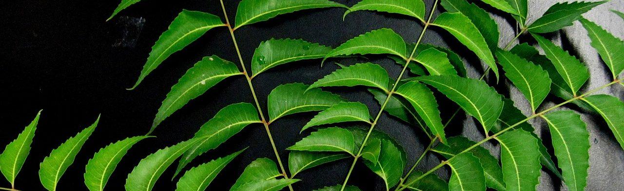 Bild Neemöl-Blätter