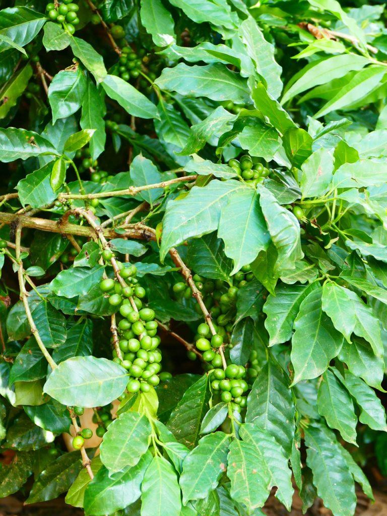 Bild Kaffee-Pflanze mit Beeren