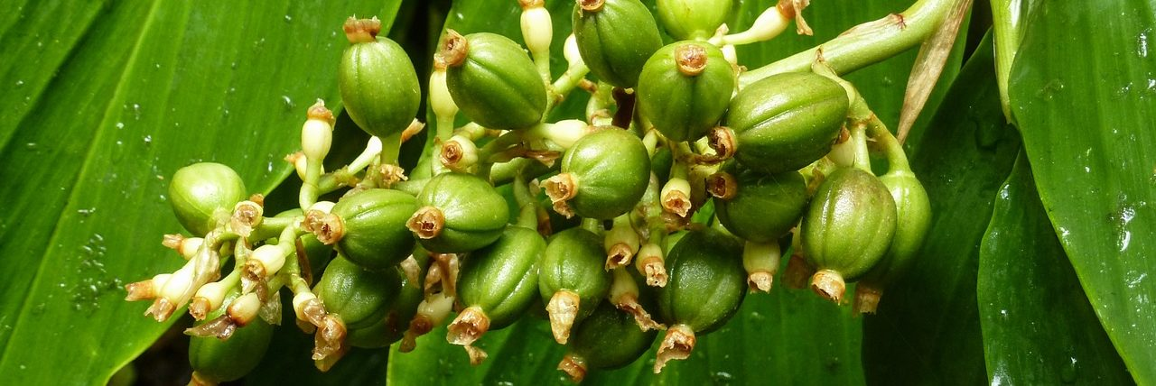Bild Kaffeeepflanze