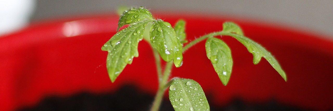 Bild Tomaten Keimling