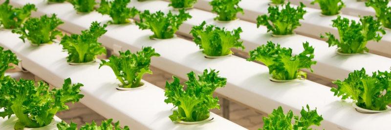 Bild Indoor Anbau Salat