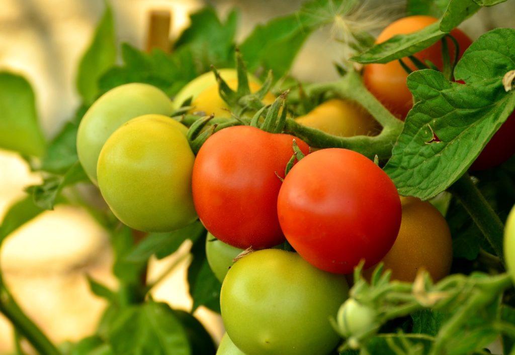 Bild unreife Tomaten