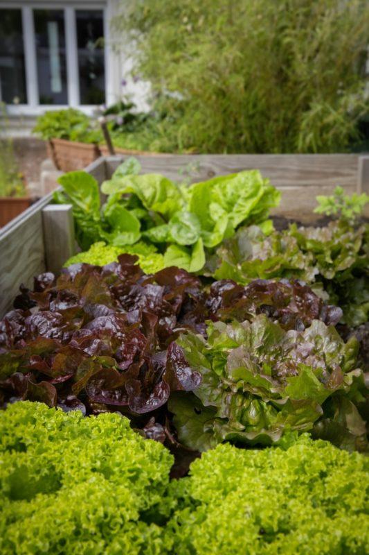 Bild Salat im Hochbeet