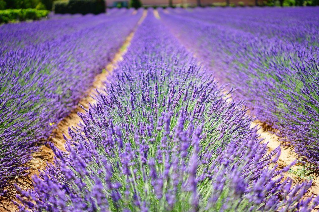 Bild Lavendel Feld