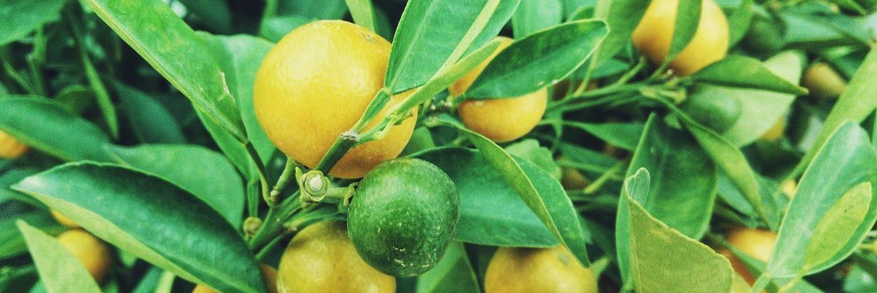 Bild Zitronenbaum