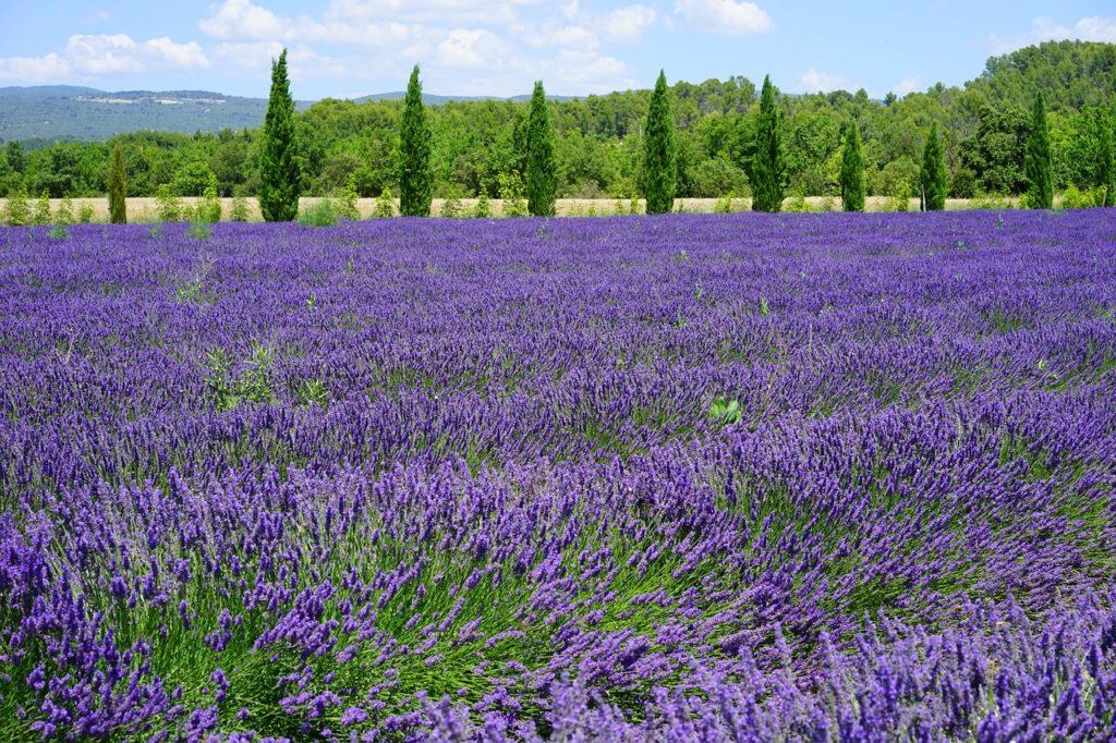 Bild Lavendel am Waldrand