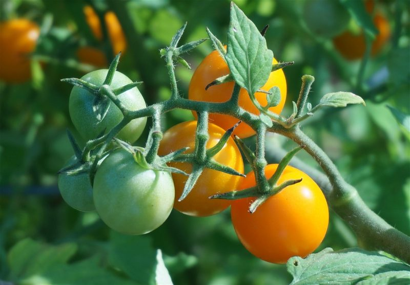 Bild gelbe Tomaten Rispe