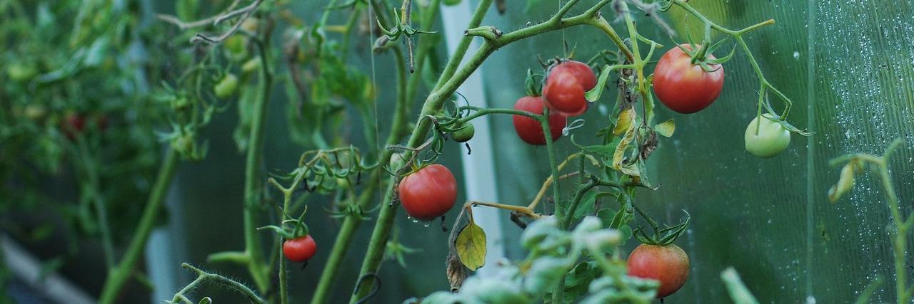 Bild Tomatenpflanzen-Haus