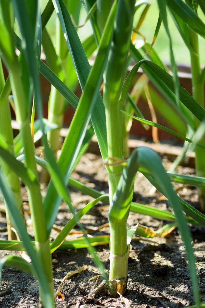 Bild Knoblauchpflanze