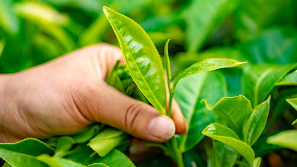 Tee Blätter